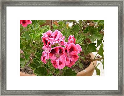 Framed Print featuring the photograph Pink Geraniums by Lew Davis