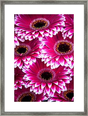 Pink Gerbera 1. Amsterdam Flower Market Framed Print