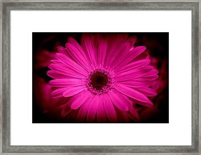 Pink Gerbera 1 Framed Print by Kay Novy