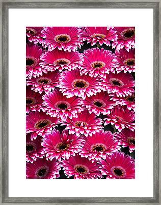 Pink Gerbera. Amsterdam Flower Market Framed Print