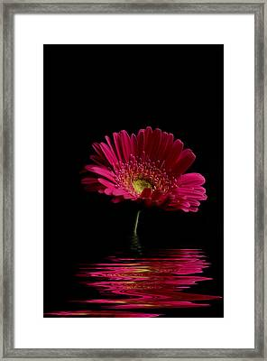 Pink Gerbera Flood 1 Framed Print