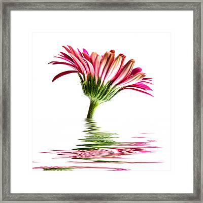 Pink Gerbera Flood 2 Framed Print