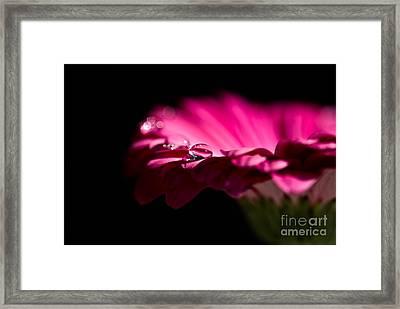 Pink Gerbera - Gerbera Framed Print by Dog Photos