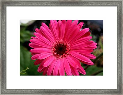 Pink Gerbera Framed Print by Kay Novy