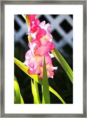 Pink Gladiolus Framed Print by Cathy Lindsey