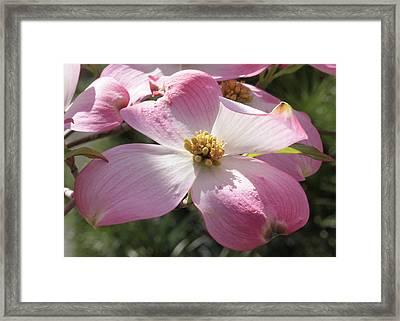 Pink Glory Framed Print