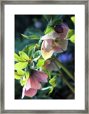Pink Hellebore Framed Print