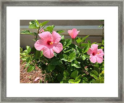 Pink Hibiscus Framed Print by Aimee L Maher Photography and Art Visit ALMGallerydotcom