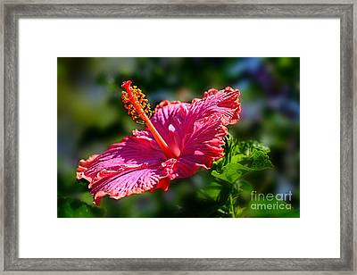 Pink Hibiscus By Kaye Menner Framed Print by Kaye Menner