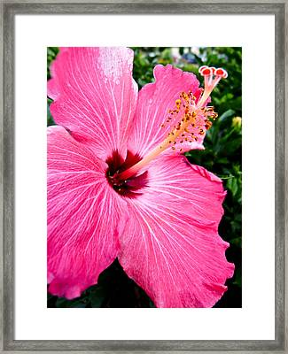 Pink Hibiscus Framed Print