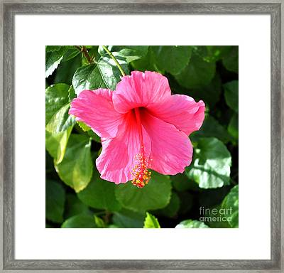 Pink Hibiscus With Large Stamen Framed Print by Jay Milo