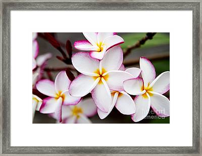 Pink Highlighted Plumeria Framed Print by Thanh Tran
