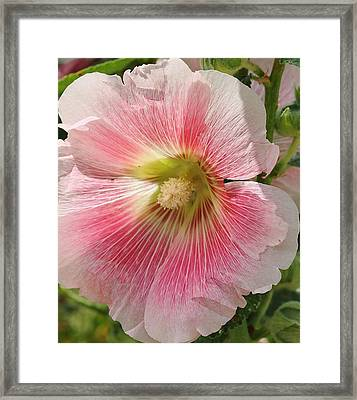 Pink Hollyhock Framed Print by Bruce Bley