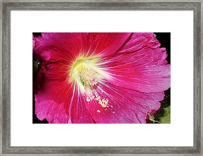 Pink Hollyhock Framed Print