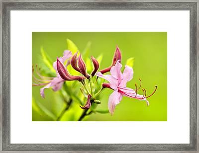 Pink Honeysuckle Flowers Framed Print by Christina Rollo
