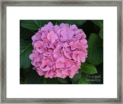 Pink Hydrangea All Profits Benefit Hospice Of The Calumet Area Framed Print