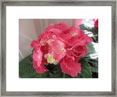 Pink Hydrangea Framed Print by Barbara McDevitt