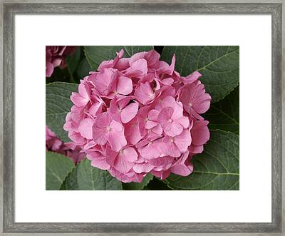 Framed Print featuring the photograph Pink Hydrangea by Sandy Molinaro