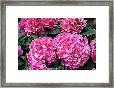 Pink Hydrangea, Usa Framed Print