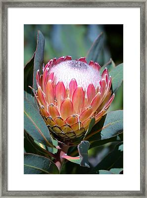 Pink Ice Protea Framed Print by Werner Lehmann