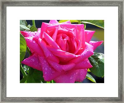 Pink In Drops Framed Print by Zina Stromberg