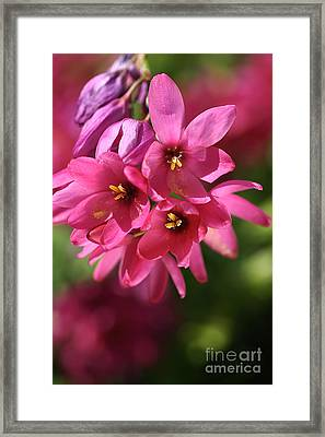 Pink Ixia Framed Print by Joy Watson