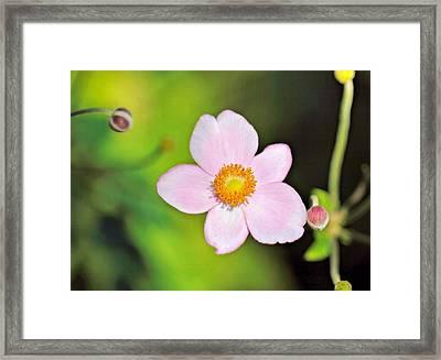 Pink Japanese Anemone Framed Print by Katherine White