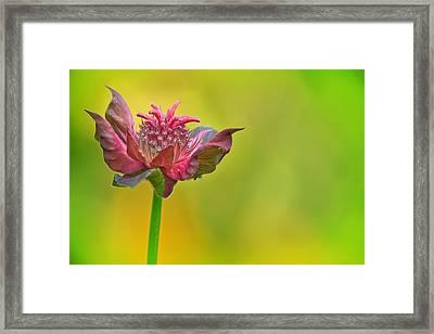 Pink Jester In Greene Framed Print by Sylvia J Zarco