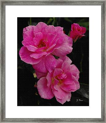 Framed Print featuring the photograph Pink Knock Outs by James C Thomas