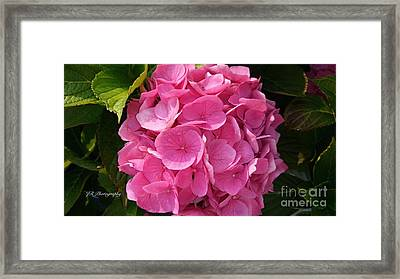 Framed Print featuring the photograph Blushing Rose by Jeannie Rhode