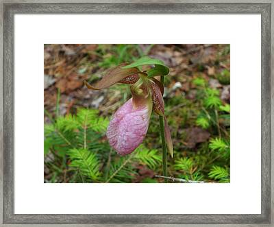 Pink Lady's Slipper Framed Print