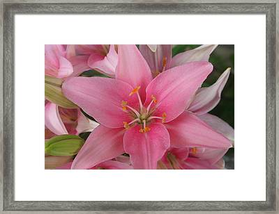 Pink Lilies Framed Print by Cary Amos