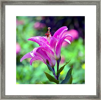 Pink Lilies Framed Print by Deena Stoddard