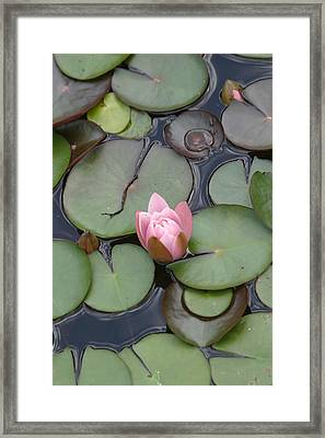 Pink Lilly Framed Print by Dervent Wiltshire