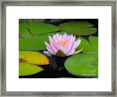 Pink Lilly Flower Framed Print