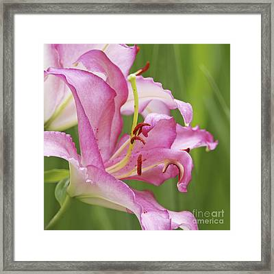 Pink Lily 2 Framed Print