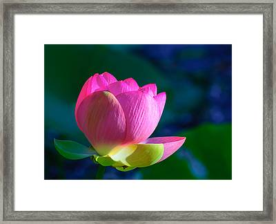 Pink Lily Framed Print by John Johnson