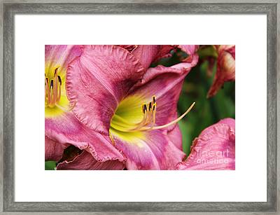 Pink Lily Framed Print
