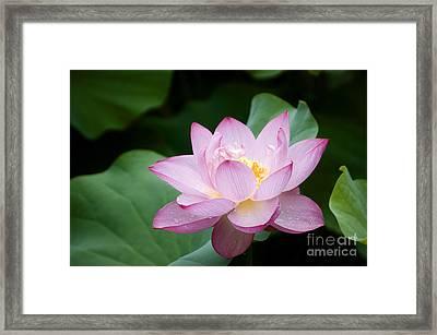 Pink Lotus Flower Framed Print by Oscar Gutierrez