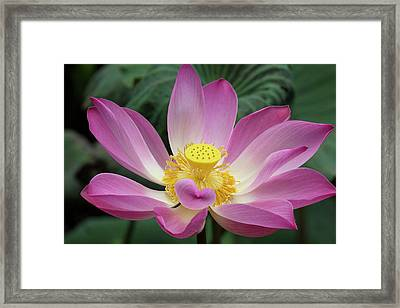 Pink Lotus Flower, Water Lily, Nymphaea Framed Print by Emily Wilson