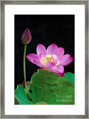Framed Print featuring the photograph Pink Lotus Flowers by Eva Kaufman