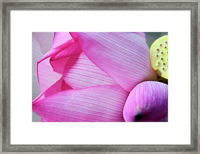 Pink Lotus Petal Bud Close-up Macro Framed Print