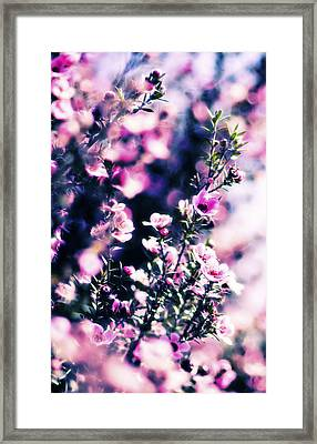Pink Manuka Flowers Framed Print by motography aka Phil Clark