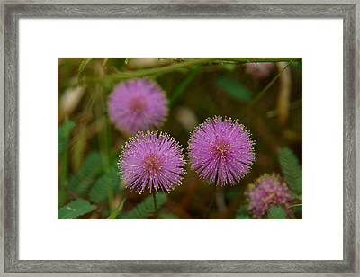 Pink Mimosa Framed Print