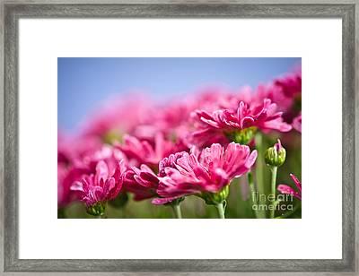 Pink Mums Framed Print by Elena Elisseeva