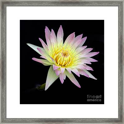 Pink N Yellow Water Lily Too Framed Print by Sabrina L Ryan