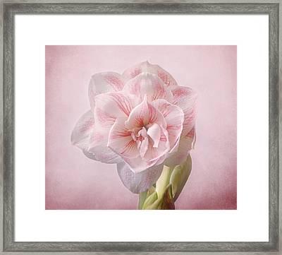Pink Nymph Amaryllis Framed Print by Sandy Keeton