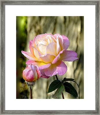 Pink October Rose Framed Print