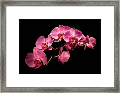 Pink Orchids 3 Framed Print by  Onyonet  Photo Studios