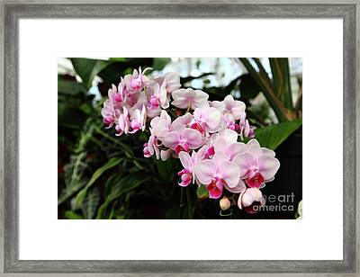 Pink Orchids 5d22430 Framed Print by Wingsdomain Art and Photography